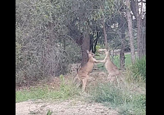 澳洲男子機智勸開打架袋鼠