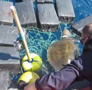 美国海岸警卫队公布在太平洋营救海龟视频