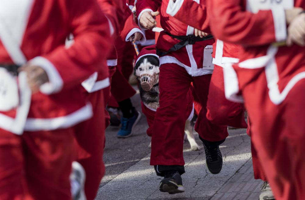 斯科普里打扮成聖誕老人的狗在參加傳統的新年比賽。