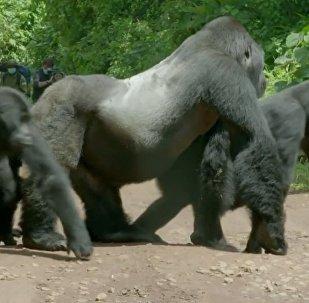大猩猩爸爸帶全家過馬路(視頻)