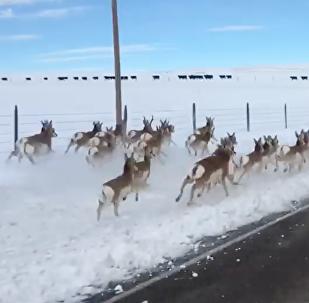 高速公路上的一群羚羊