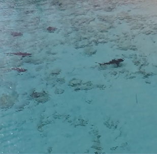 巴哈马男孩奇迹躲过四鲨围攻(视频)