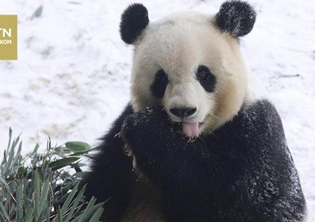 像孩子一样:被第一场雪乐坏的熊猫萌翻网友