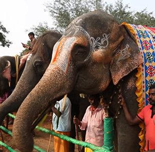 印度為大象開設一家SPA水療館