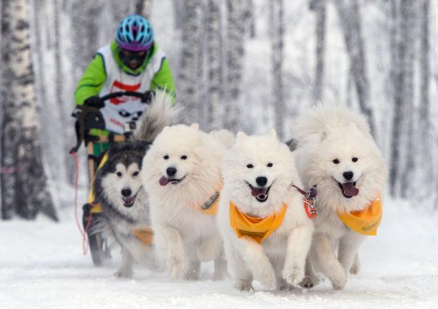 北极狗拉雪橇比赛在俄楚科奇拉开帷幕