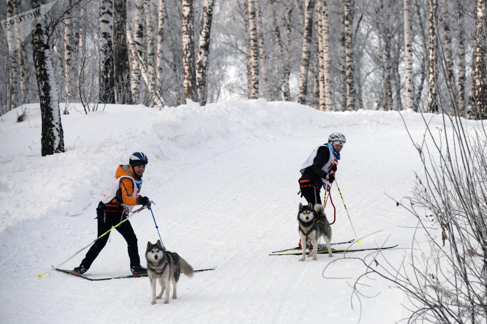 新西伯利亞舉行狗拉雪橇比賽