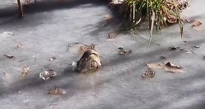 在北卡罗莱纳州的鳄鱼被冻住了(视频)