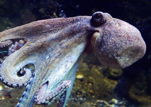 媒體:澳大利亞一隻海豚活吞章魚反被憋死