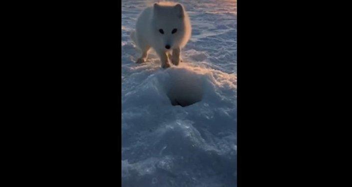 一只北极狐偷偷走近渔民并偷走了他捕获的猎物