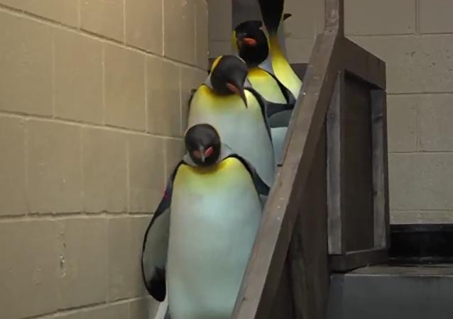 企鹅下楼 帝国进行曲伴奏