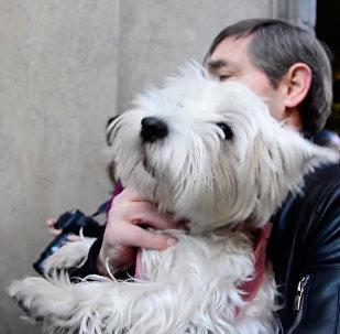 西班牙圣安东尼节宠物接受牧师祈福