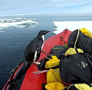 企鹅造访南极学者被拍下