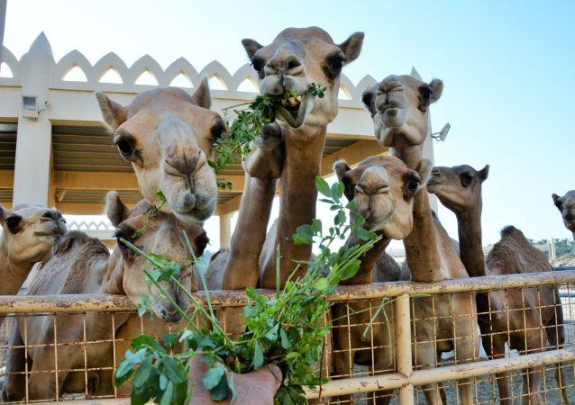 骆驼因打瘦脸针被取消选美比赛资格