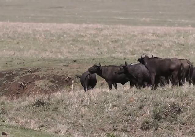 陷阱:獅子捕獵水牛的鏡頭被拍下(視頻)
