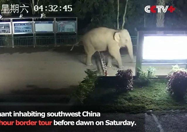 一头大象非法穿越中老 边境
