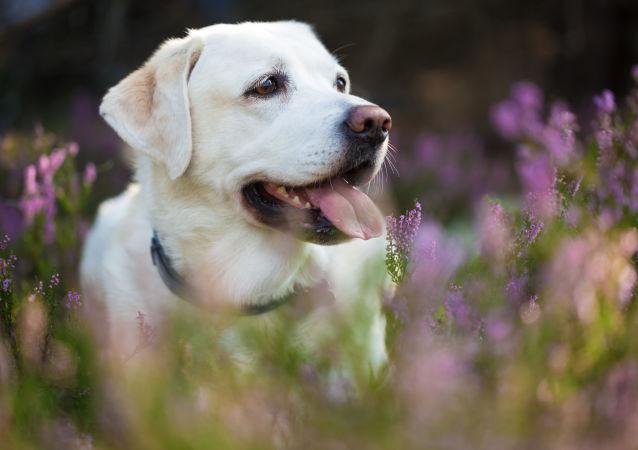 美国一只狗狗失踪十年后回家