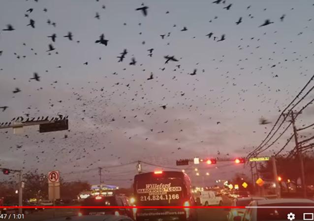 在美国可怕的黑鸟攻击汽车