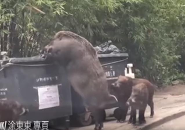 香港一校园惊现巨大野猪(视频)