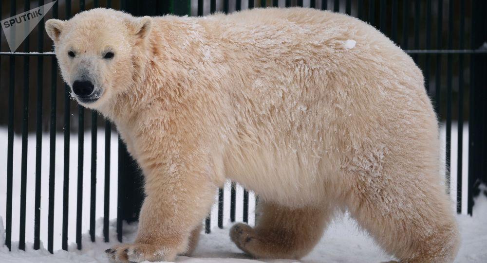 俄羅斯歲數最大的北極熊在彼爾姆去世