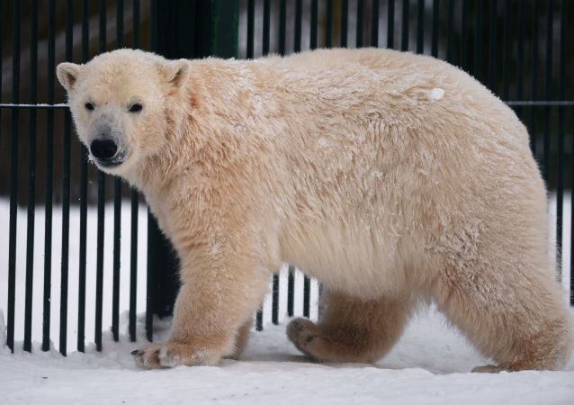 俄罗斯岁数最大的北极熊在彼尔姆去世