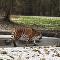 丹麦一只阿穆尔母老虎铤而走险付出代价