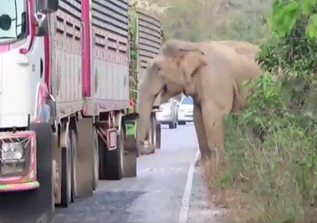 泰國一頭決定直接在公路上吃甘蔗的巨象致使交通癱瘓