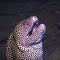 大海鳝发怒袭击潜水者