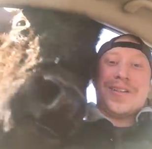 YouTube上一段野牛爬上车去抢男子面包的视频乐坏大家