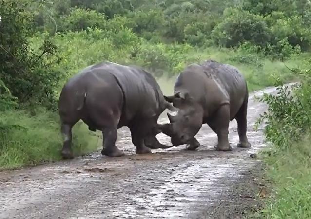 两头犀牛为争夺地盘打得不可开交(视频)