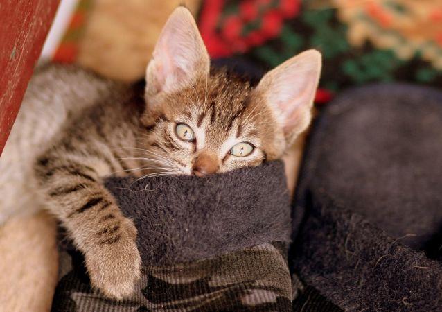 俄罗斯科学家正研发一款对猫过敏的疫苗
