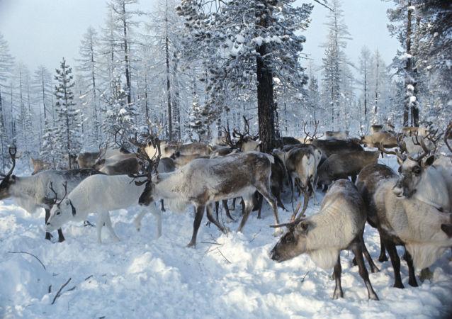 俄媒:中国制药企业在俄购买北极驯鹿角