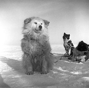北方萊卡犬