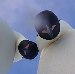 """南极洲的企鹅自己""""开了个自拍培训班""""(视频)"""