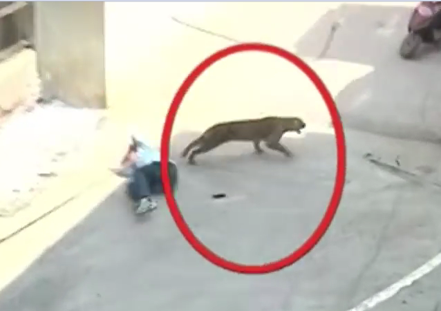 印度一只豹子误入城市并袭击人