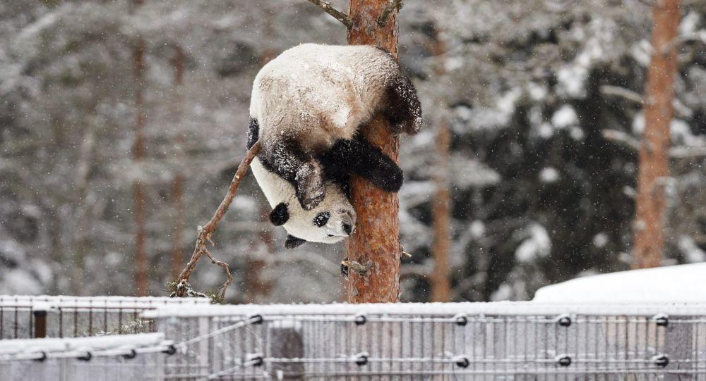 芬兰动物园计划对参观熊猫馆的访客提供配额