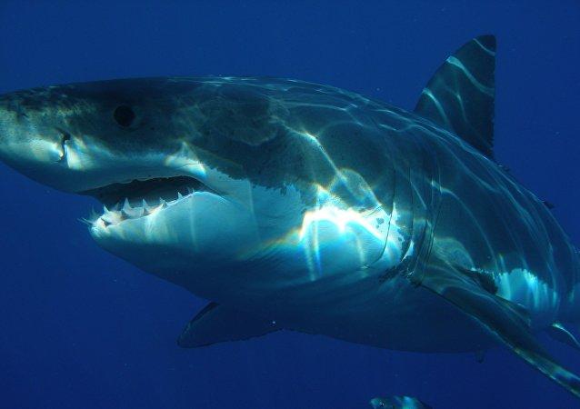 在澳大利亚一只灭绝的鲨鱼的巨大牙齿被盗