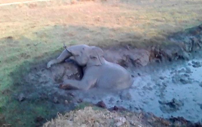 印度一村莊用挖掘機營救小象