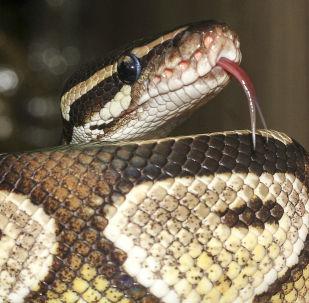 美國現罕見雙頭蛇(視頻)