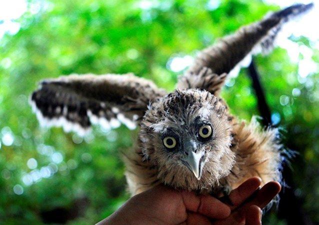 俄罗斯专家将在远东开展毛腿鱼鸮种群复壮研究