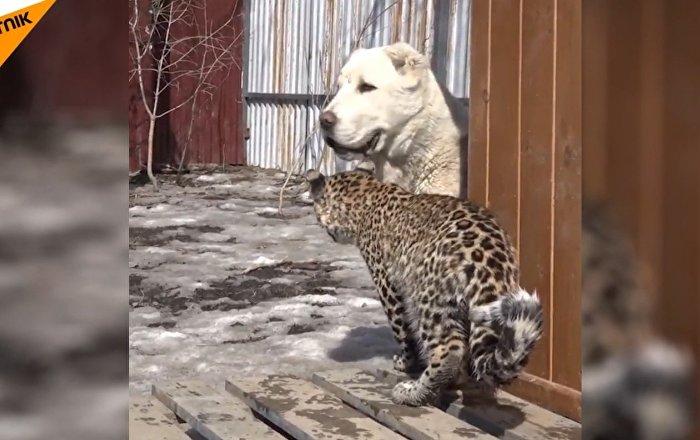 俄遠東牧羊犬收養小豹子米拉什
