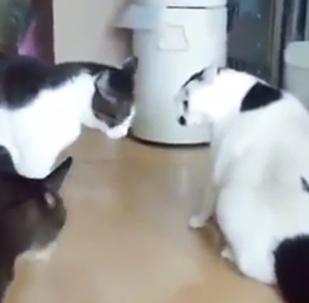 一隻肥貓以獨有的方式阻止了同類的打鬥