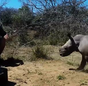 犀牛保護母親