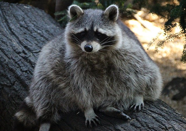 全美民众关注爬上摩天大楼23楼浣熊的命运