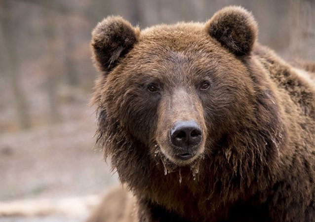 """在""""布良斯克森林""""中的巨熊之舞被拍下"""