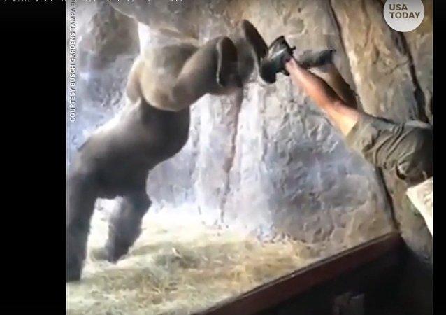 """""""天才""""大猩猩模仿人类倒立惊到饲养员:万万没想到这它都会!"""
