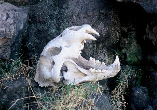 非洲现最大狮头骨