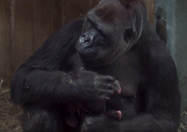 一只罕见的大猩猩和她新生的幼崽出现在网上
