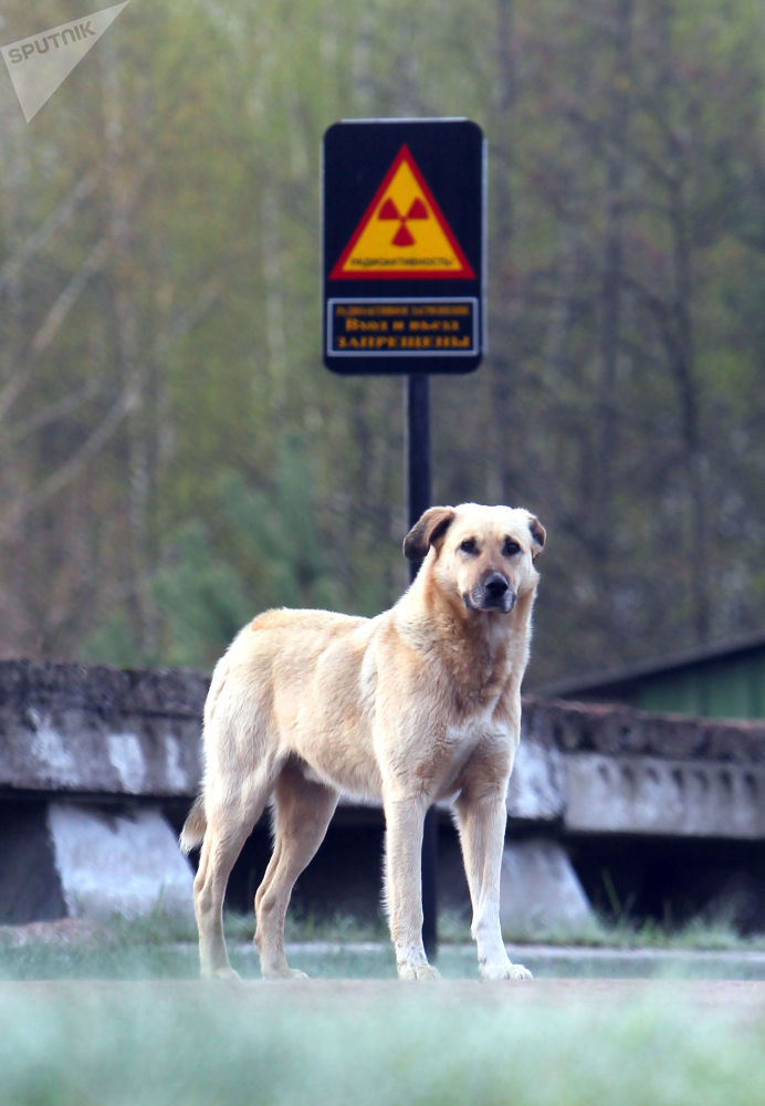 在切尔诺贝利核电站周边的狗