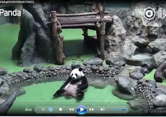 原来熊猫自己洗澡是这样的