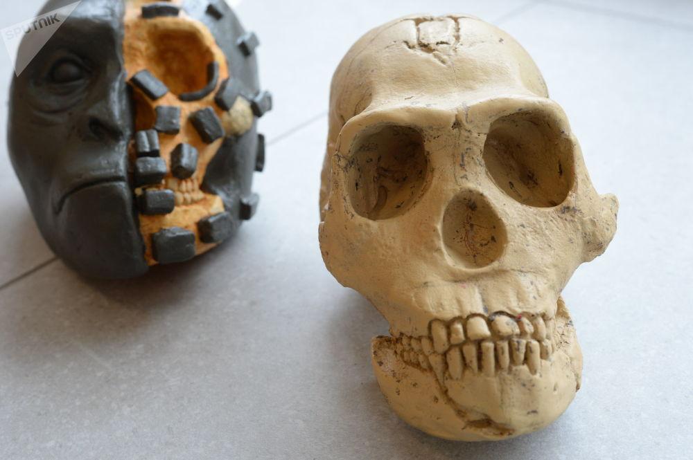 在寻找有关纳莱迪人生死之谜的答案过程中,俄罗斯人类学家根据从南非同仁那里获得的骨骼样本对纳莱迪人进行了复原。 图片说明:以纳莱迪人头骨铸件和半复原的头部模型为例,实物展示雕塑复原方法(作者-伊丽莎白·韦谢洛夫斯卡娅)。